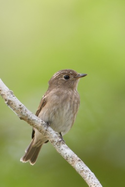Brown-streaked Flycatcher at Pasir Ris Park. Photo credit: Francis Yap