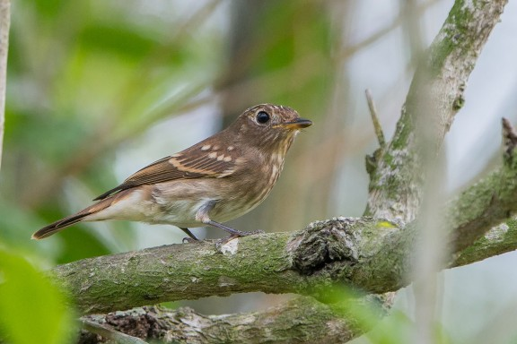 Juvneile Brown-streaked Flycatcher at Pasir Ris Park. Photo Credit: Adrian Silas Tay