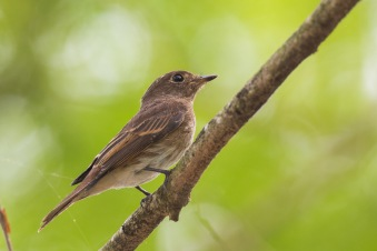 Brown-streaked Flycatcher at Lorong Halus. Photo Credit: Francis Yap