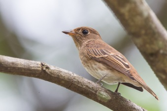 Brown-streaked Flycatcher at Venus Drive. Photo Credit: Francis Yap