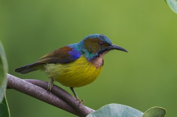 Male Brown-throated Sunbird at Jelutong Tower. Photo Credit: Francis Yap