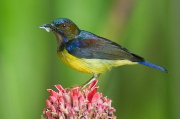 Male Brown-throated Sunbird at Pulau Ubin. Photo Credit: Francis Yap