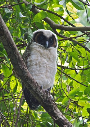 Juvenile Brown Wood Owl at Pulau Ubin in January 2011. Photo Credit: Lim Kim Chuah