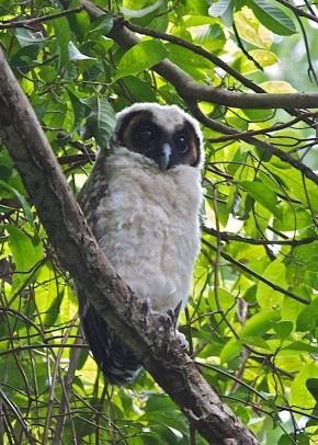 Juvenile Brown Wood Owl at Pulau Ubin in January 2011. Photo Credit: Lim Kim Chuah