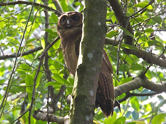 Brown Wood Owl at Pulau Ubin in January 2011. Photo Credit: Lim Kim Chuah