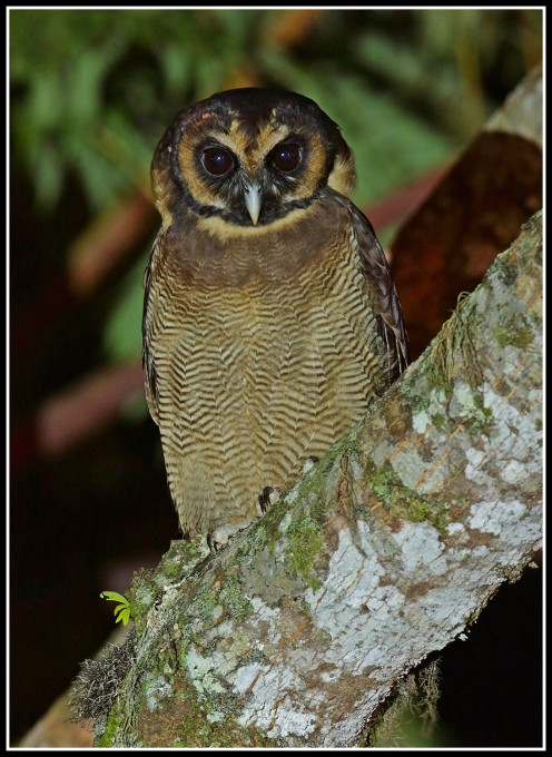 Brown Wood Owl at Frasers Hill. Photo credit: Daniel Koh