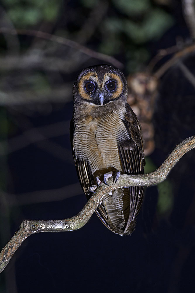 Brown Wood Owl from Thailand. Photo credit: Lim Ser Chai