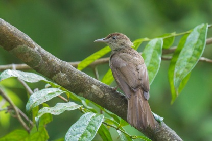 Buff-vented Bulbul at Panti Forest. Photo Credit: Francis Yap