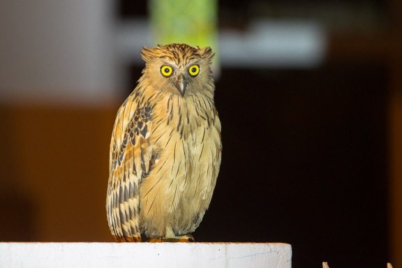 Buffy Fish Owl at Punggol. Photo Credit: Francis Yap