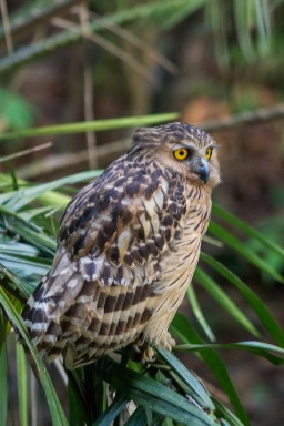 Buffy Fish Owl at Lower Peirce. Photo Credit: Francis Yap