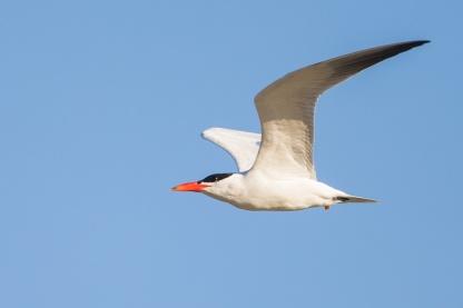 Caspian Tern, breeding plumage in Queensland, Australia. Photo Credit: Francis Yap