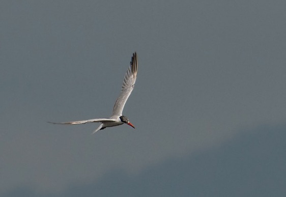 Caspian Tern at Mandai Mudflats. Photo Credit: Frankie Cheong
