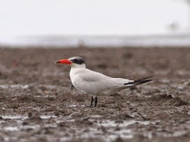 Caspian Tern at Mandai Mudflats. Photo Credit: Chong Boon Leong aka Wokoti
