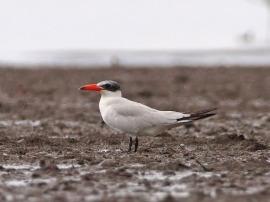 Caspian Tern at Mandai Mudflats. Photo Credit: Chong Boon Leong aka Wokoti