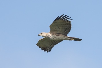 Pale morph Changeable Hawk-Eagle, pale morph at Punggol Barat. Photo Credit: Francis Yap