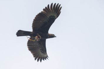 Dark morph Changeable Hawk-Eagle at Lorong Halus. Photo Credit: Francis Yap