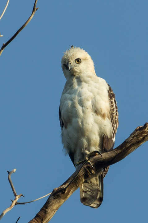 Juvenile Changeable Hawk-Eagle at Rifle Range Link