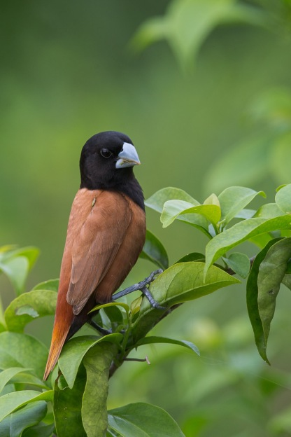 Chestnut Munia at Satay by the Bay. Photo Credit: Francis Yap