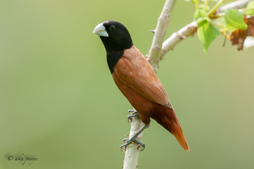 Chestnut Munia. Photo Credit: Zahidi Hamid