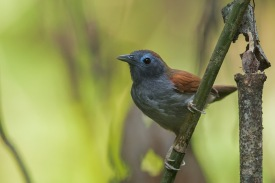 Chestnut-winged Babbler at Nee Soon Swampforest. Photo Credit: Francis Yap