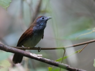 Chestnut-winged Babbler at Rifle Range Link. Photo Credit: Francis Yap