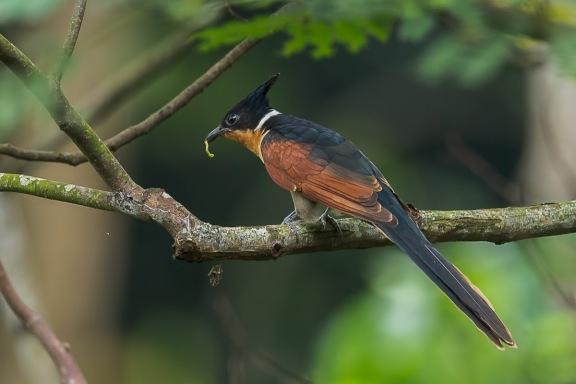 Adult Chestnut-winged Cuckoo at Bidadari. Photo Credit: Francis Yap