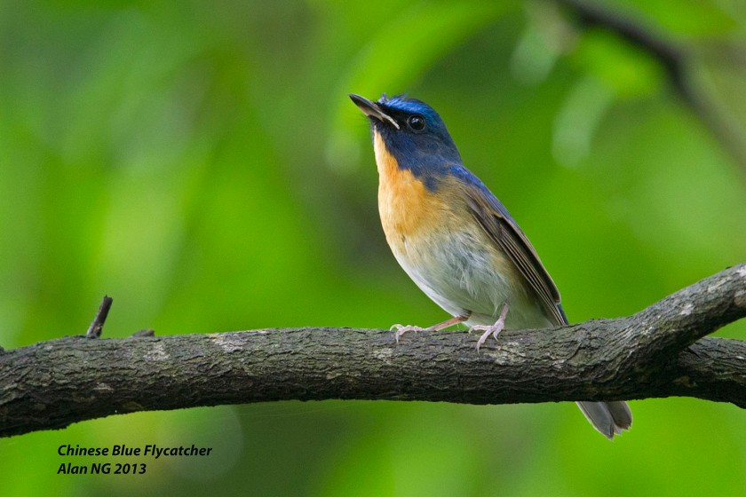 Chinese Blue Flycatcher_Bidadari_Alan Ng