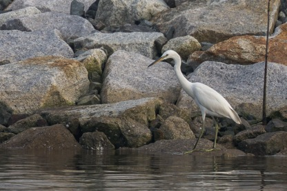 Chinese Egret in non-breeding pluamge at SBWR. Photo Credit: Francis Yap