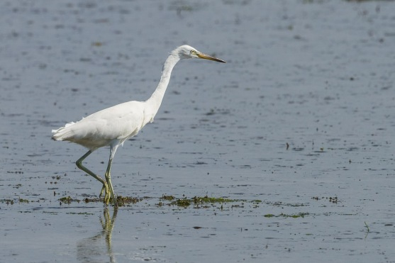 Chinese Egret in non-breeding plumage at Pulau Ubin. Photo Credit: Francis Yap