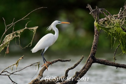 Chinese Egret in breeding plumage at Thailand. Photo credit: Wong Lee Hong