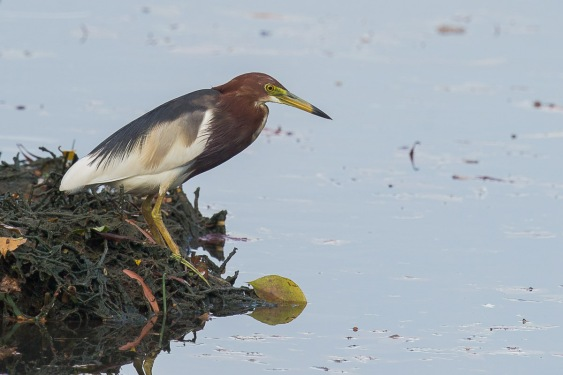 Chinese Pond Heron in breeding plumage at Pasir Ris Farmway 3. Photo Credit: Francis Yap