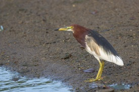 Chinese Pond Heron in breeding plumage at Pasir Ris Farmway 3. Photo Credit: Francis Yap
