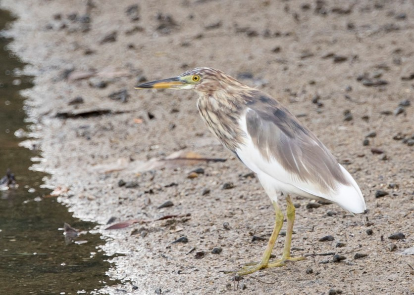 Presumably a Chinese Pond Heron in the initial stage of moulting to breeding plumage at Pasir Ris Farmway 3. Photo credit: See Toh Yew Wai