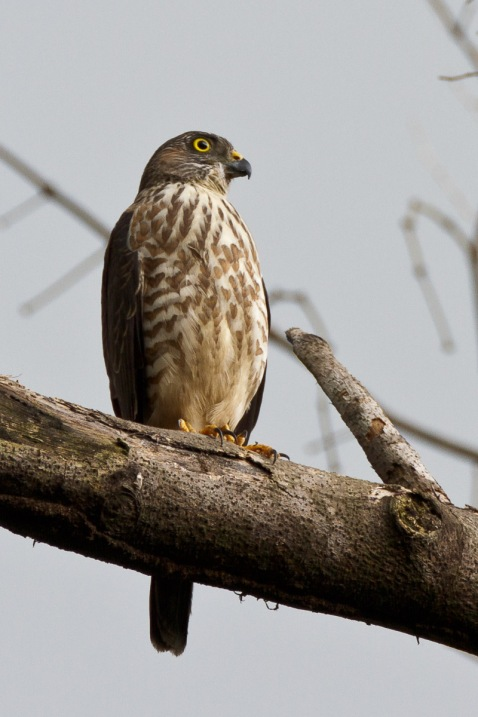 Juvenile Chinese Sparrowhawk at Bidadari. Photo Credit: Francis Yap