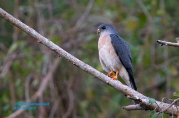 Adult male Chinese Sparrowhawk at Bidadari. Photo Credit: Alan Ng