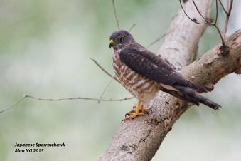 Juvenile Chinese Sparrowhawk at Bidadari. Photo Credit: Alan Ng