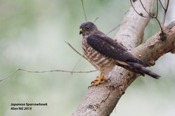 Juvenile Chinese Sparrowhawk at Bidadari. Photo Credit: Alan Ng