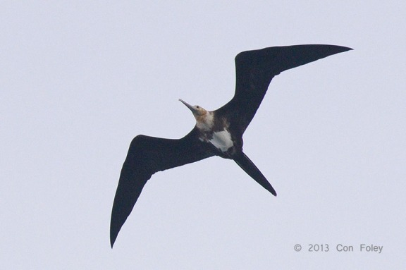 Juvenile Christmas Frigatebird at Singapore Strait. Photo Credit: Con Foley
