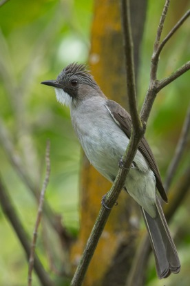 Cinereous Bulbul at Kent Ridge Park. Photo Credit: Francis Yap