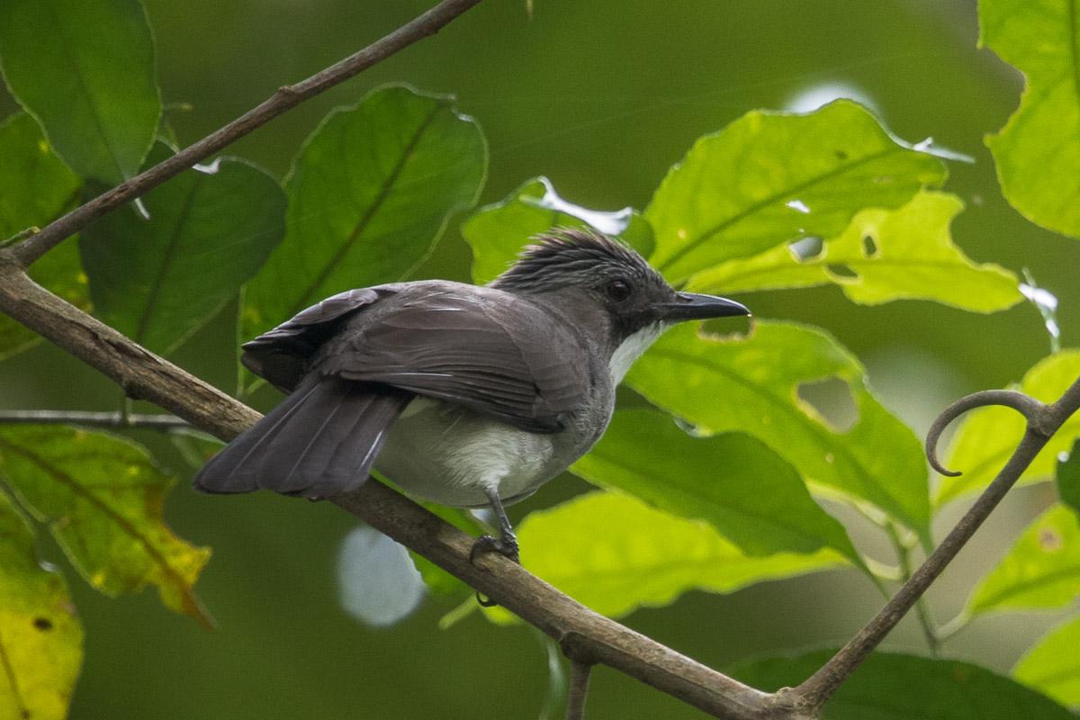 Cinereous bulbul singapore birds project for Birds project
