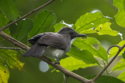 Cinereous Bulbul at Rifle Range Link. Photo Credit: Francis Yap