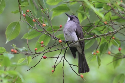 Cinereous Bulbul at Bukit Timah Nature Park. Photo Credit: Myron Tay