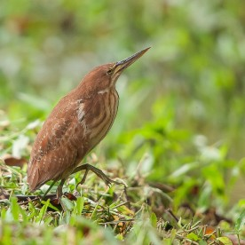 Female Cinnamon Bittern. Photo credit: Mohamad Zahidi