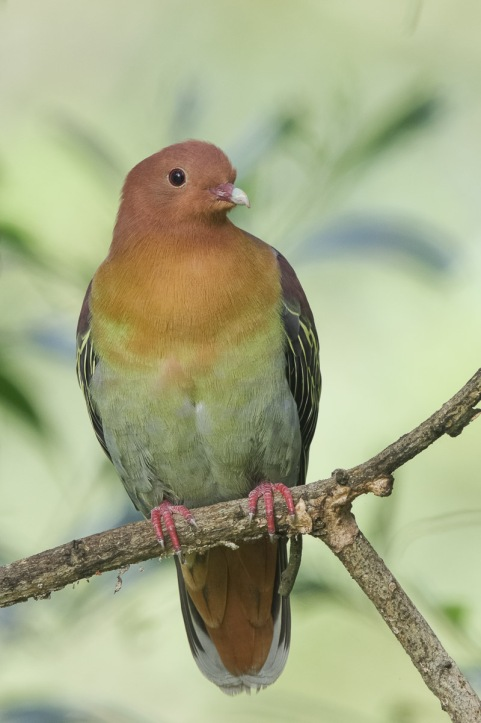 Male Cinnamon-headed Green Pigeon at TEG. Photo Credit: Francis Yap