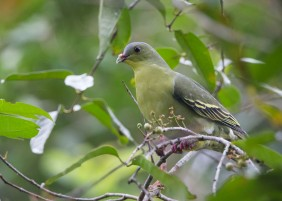 Female Cinnamon Green Pigeon at Pulau Ubin. Photo Credit: See Toh