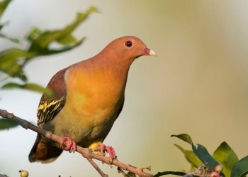 Male Cinnamon-headed Green Pigeon at Tampines ECO Green. Photo credit: Wong Lee Hong