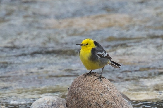 Citrine Wagtail at Bhutan. Photo Credit: Francis Yap