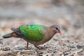 Female Common Emerald Dove at Rifle Range Link. Photo Credit: Francis Yap