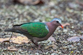 Male Common Emerald Dove at SBWR. Photo Credit: Francis Yap