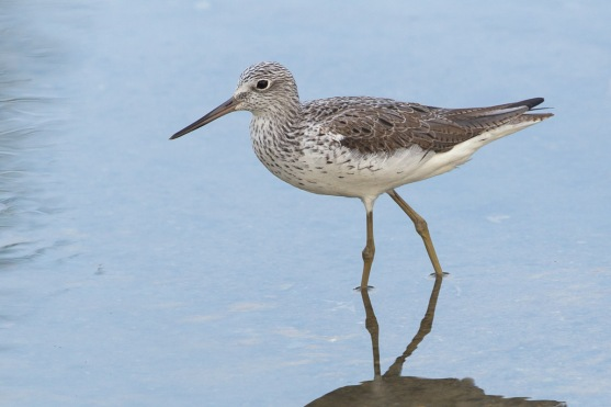 Common Greenshank at Pasir Ris Farmway 3. Photo Credit: Francis Yap
